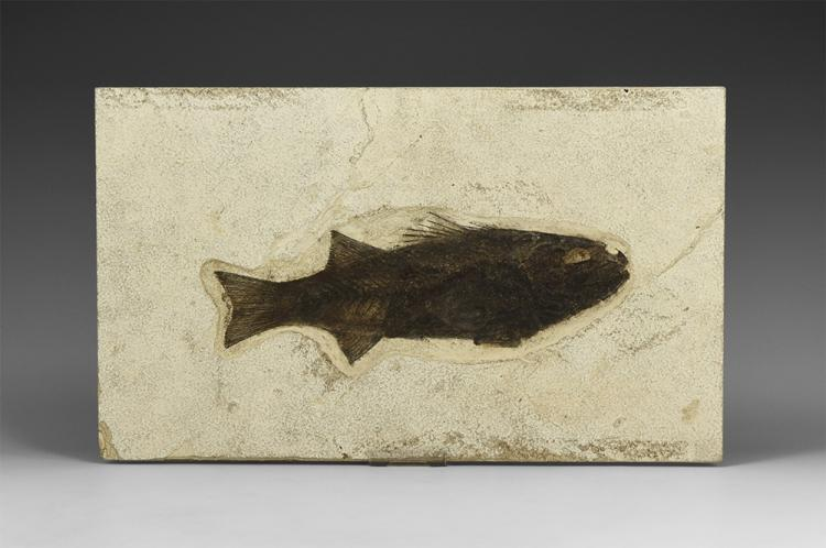 Natural History - Large Mioplosus Fossil Fish