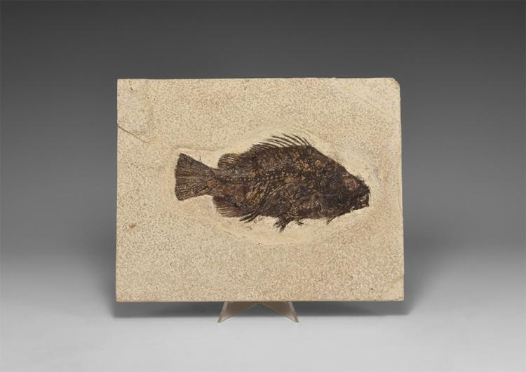 Natural History - Fossil Priscacara Liops Fish in Matrix