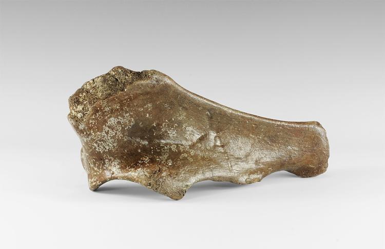 Natural History - Woolly Rhinoceros Leg Bone