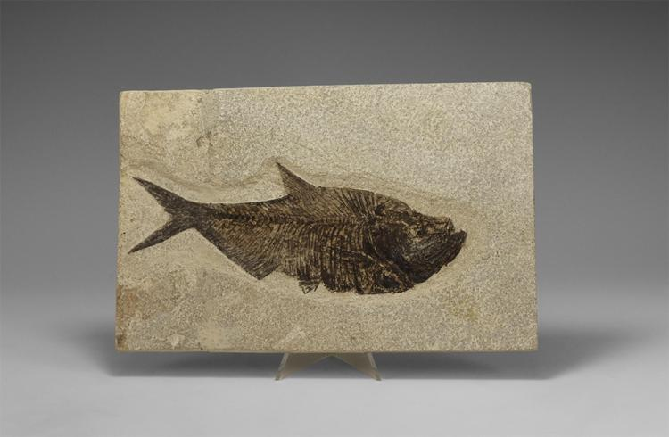 Natural History - Fossil Diplomystus Fish in Matrix