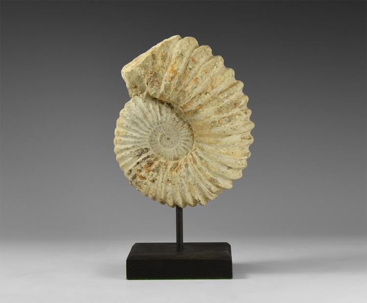 Natural History - Acanthoceras Fossil Ammonite