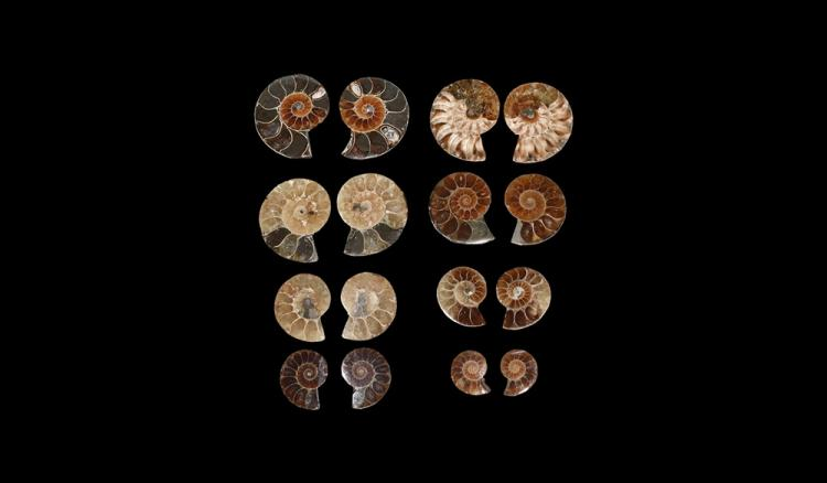 Natural History - Cut & Polished Fossil Ammonite Half Group