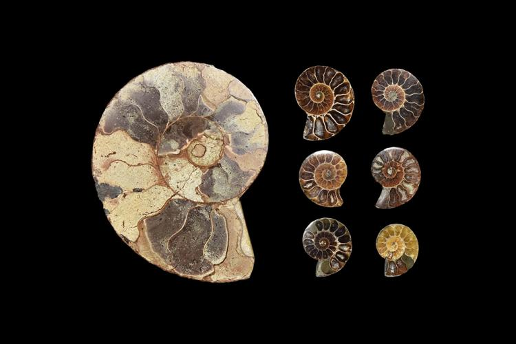 Natural History - Cut and Polished Madagascar Fossil Ammonite Group