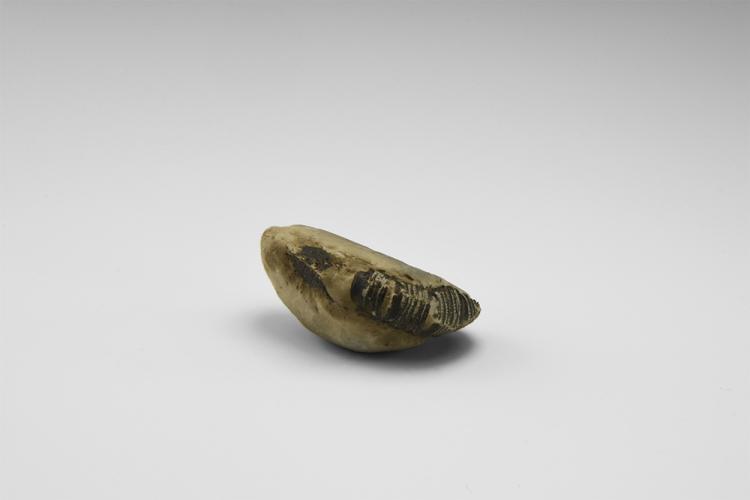 Natural History - Historic Fossil Shrimp Specimen Group
