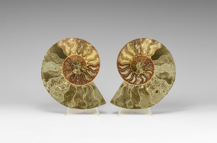 Natural History - Large Cut and Polished Fossil Ammonite Pair