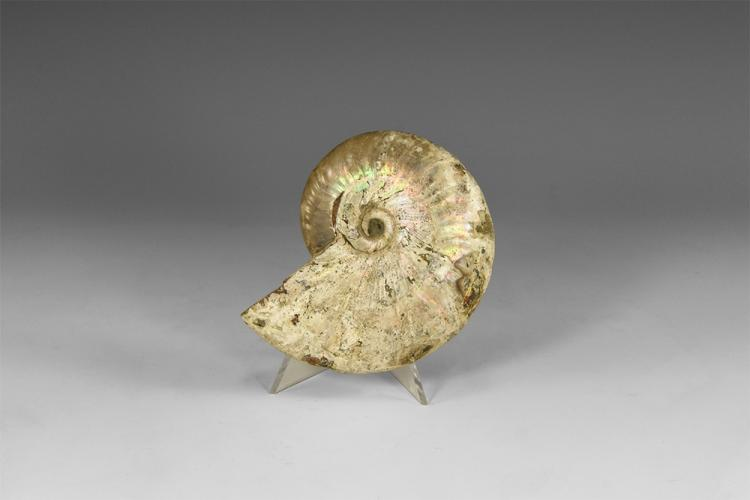Natural History - Fossil Ammonite