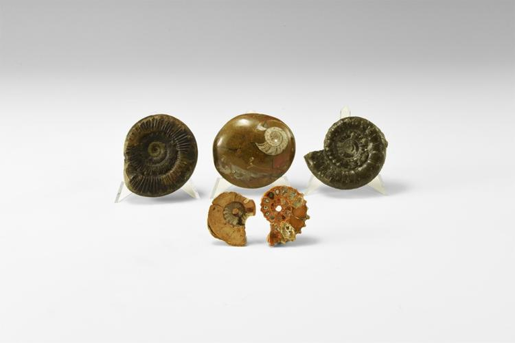 Natural History - Historic Mixed Ammonite Fossil Group