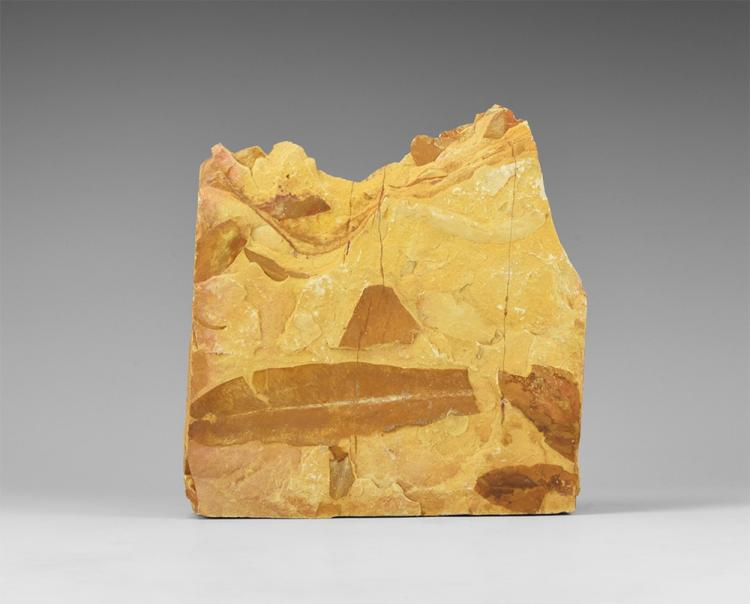 Natural History - Glossopteris Fossil Leaf Assemblage