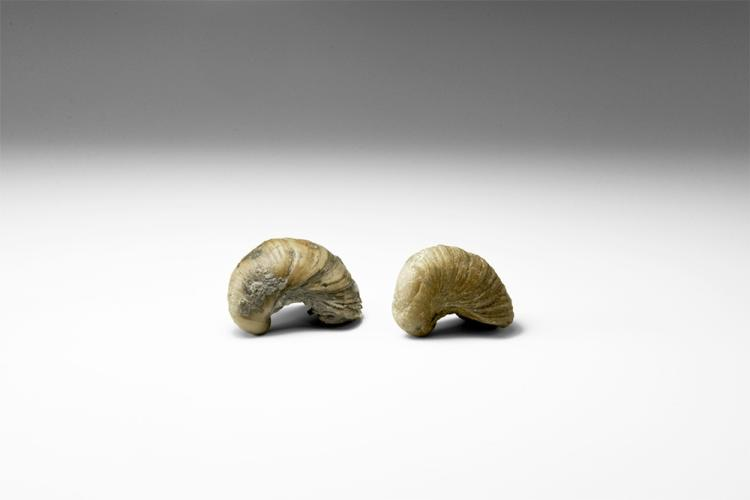 Natural History - Historic 'Devil's Toenails' Fossil Specimen Group