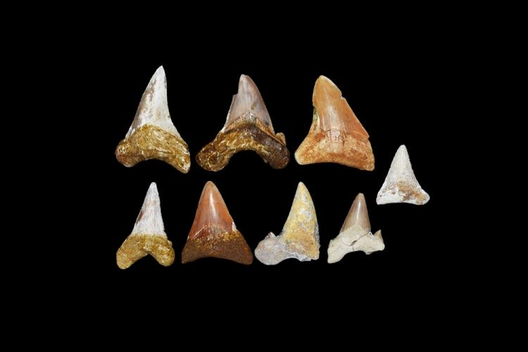 Natural History - Fossil Shark Tooth Group