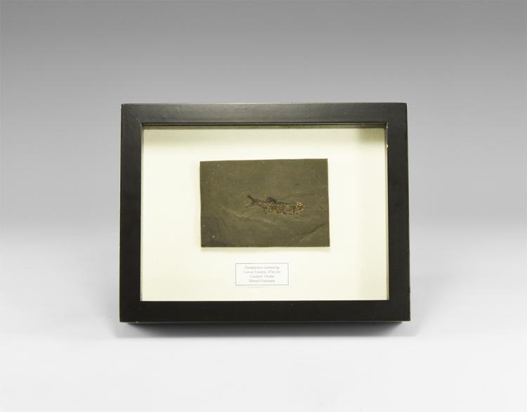 Natural History - Cased Taumaturus Fossil Fish