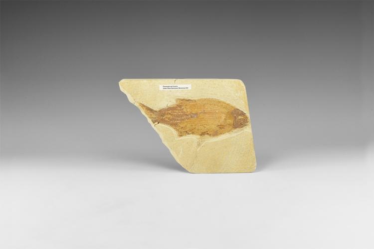 Natural History - Phareodus Fossil Fish