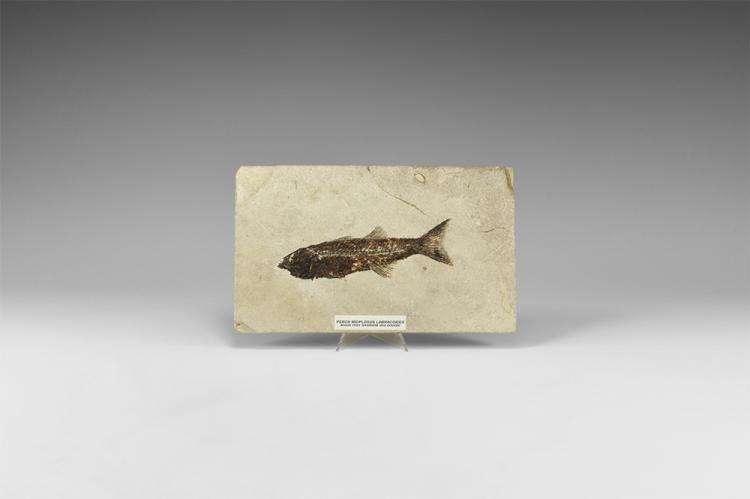Natural History - Mioplosus Fossil Fish