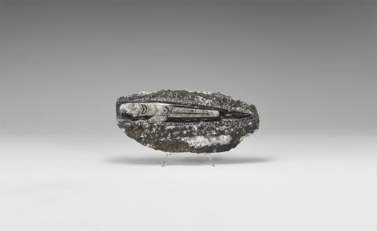 Natural History - Orthoceras Fossil Specimen