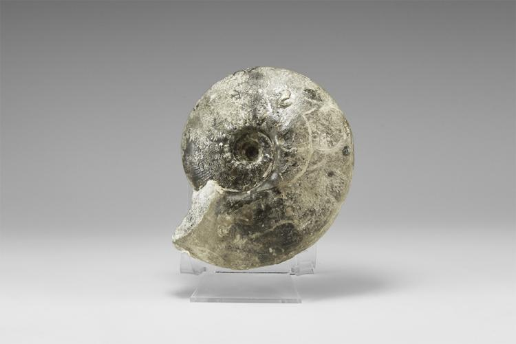 Natural History - British Fossil Ammonite