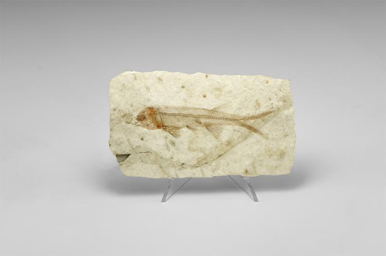 Natural History - Lycoptera Fossil Fish