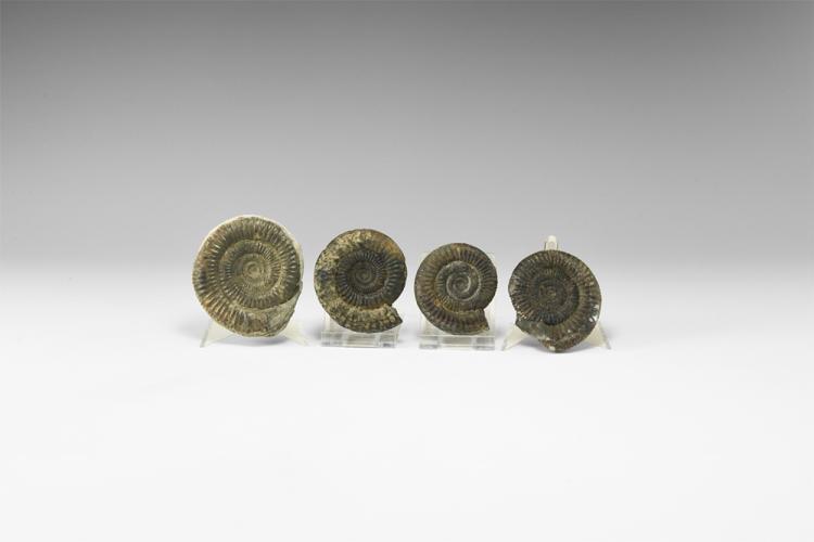 Natural History - Historic Yorkshire Ammonite Group