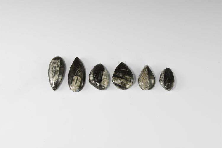 Natural History - Polished Orthoceras Fossil Group.