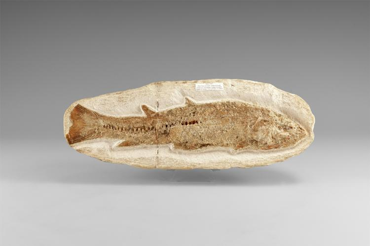 Natural History - Brazilian Fossil Milk Fish