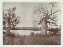 Photograph of Boab Tree marked by Gregory's Exploring party in 1856