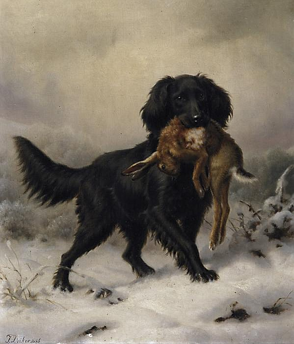 Black setter fetching hare in a winterly landscape.