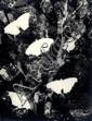 Horn, Hilde1897 Köln - 1943 Krailling (Starnberg)Photogramm mit Schmetterlingen. 1920er Jahre. Vintage. Gelatinesilberabzug. Agfa-Brovira. Passepartout. 23,8 x 17,9cm Rückseitig mit Bleistift Sammlungsvermerk. Bildecken bestoßen. Minimale