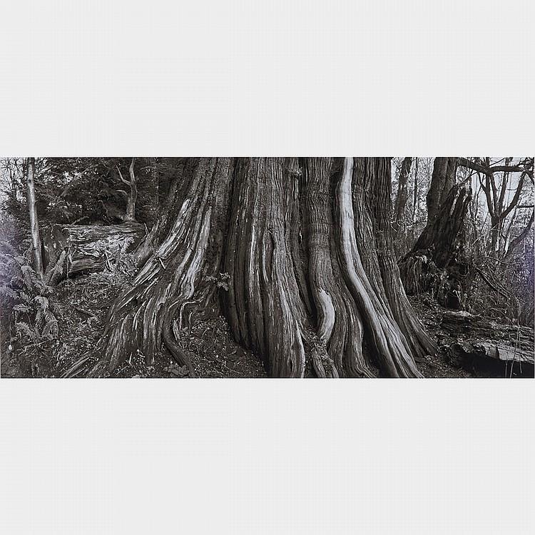 GEOFFREY JAMES, R.C.A., CEDAR, STANLEY PARK, gelatin silver print, 16.5 ins x 40 ins; 41.9 cms x 101.6 cms