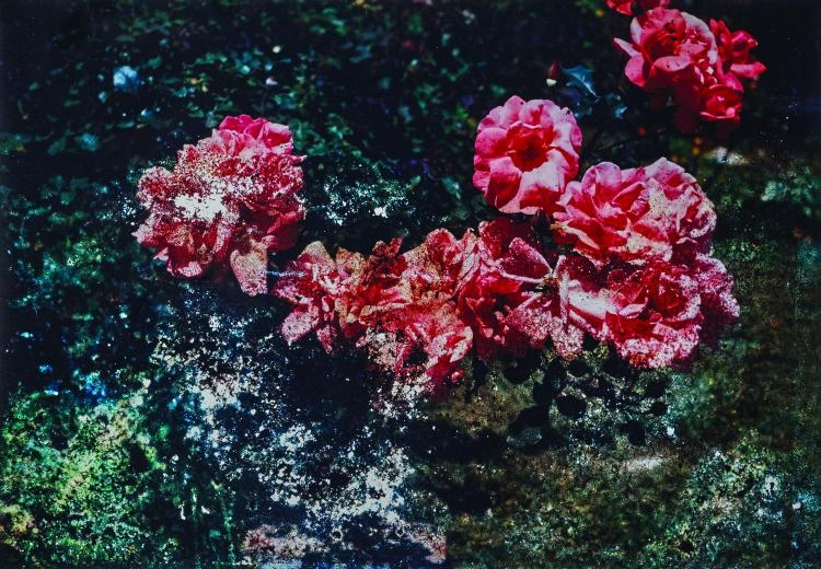 DEREK HENDERSON  Red Damaged Camellias