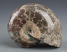 A NATURAL NAUTILUS FOSSIL