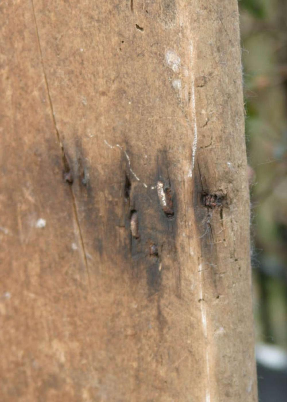 antique 1800s wormwood table top barn door