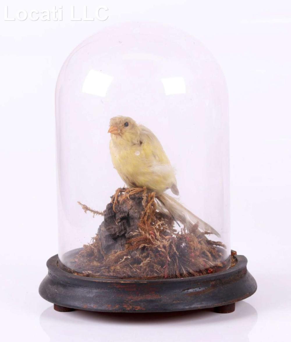 antique Victorian taxidermy bird