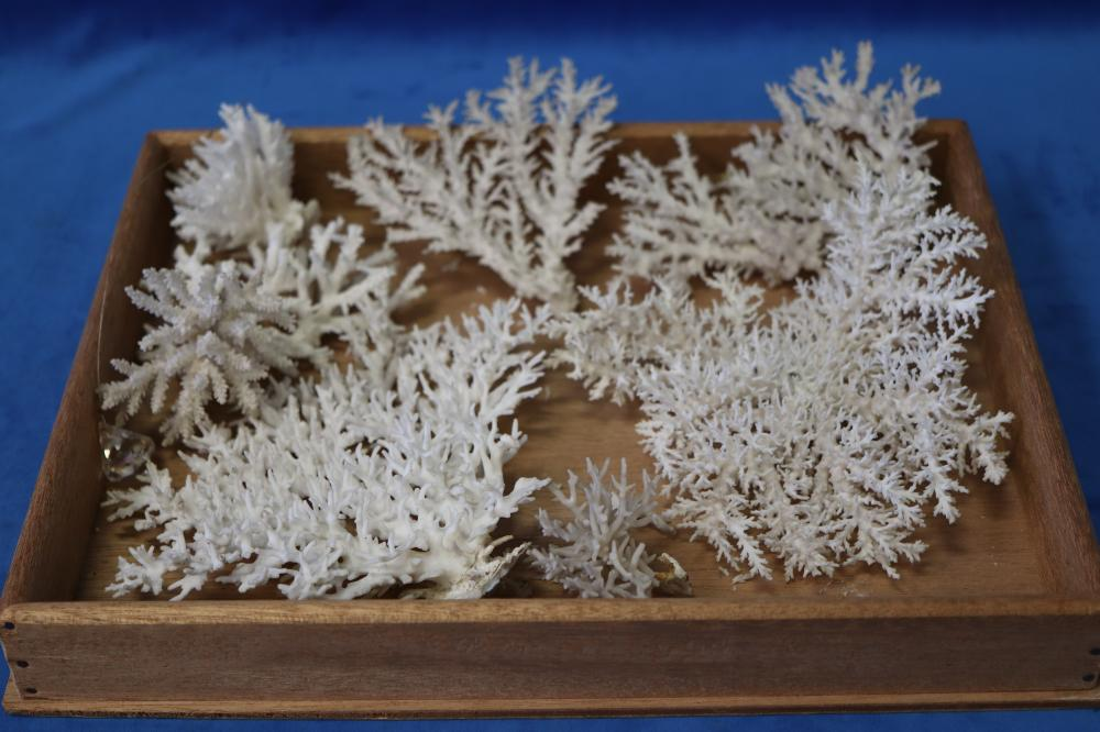 LOT OF WHITE CORAL SPAWNS