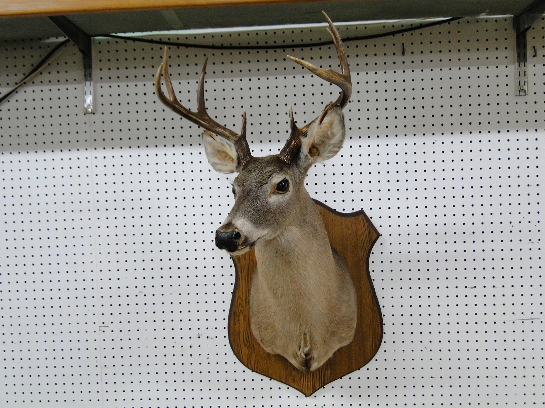 Deer Head 8pt Buck Mount