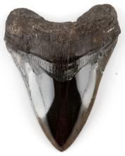 MEGALODON FOSSIL SHARK TOOTH LARGE 242G 5 INCHES