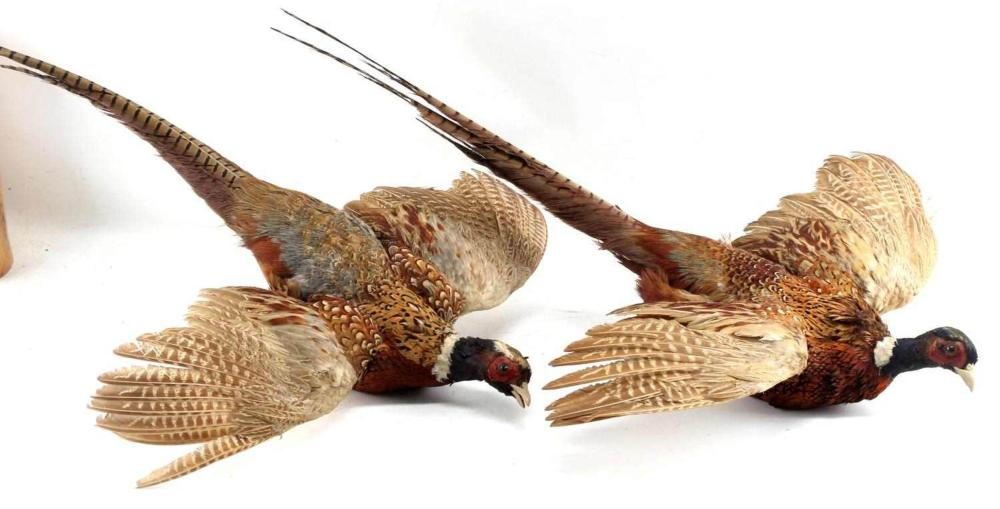 PAIR OF TAXIDERMY WALL PIECE STUFFED PHEASANT