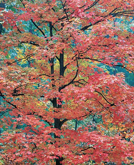 Christopher Burkett (b, 1951), Young Red Maple