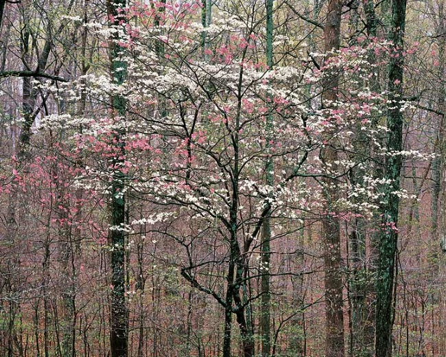 Christopher Burkett (b. 1951), Pink and White Dogwoods