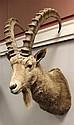 †Ibex Shoulder Mount, Russia.
