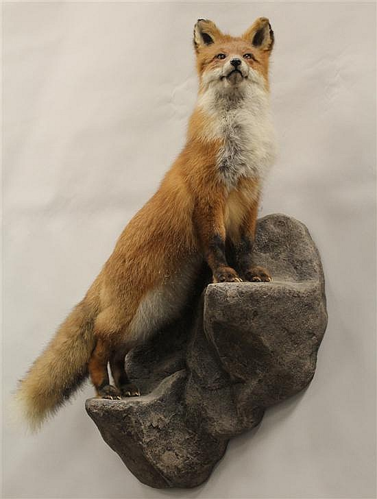 Red Fox full body mount - Russia