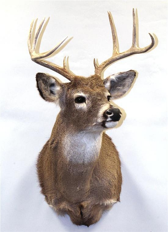 Whitetail Deer shoulder mount -Idaho