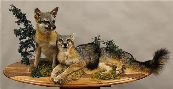 Grey Fox full body mount - Texas