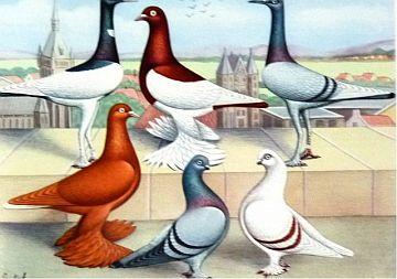 [Biology] On Pigeons [Total 2]