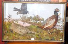 Antique Taxidermy 'Pheasants' in Painted Pine  Case. Early 1900s. Height 21.5 in. Width 33.5 in.  Depth 11.5 in.