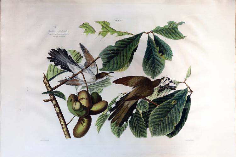 Audubon Aquatint Engraving, Yellow-Billed Cuckoo