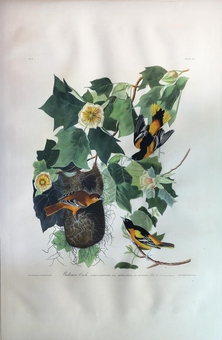 Audubon Aquatint Engraving, Baltimore Oriole