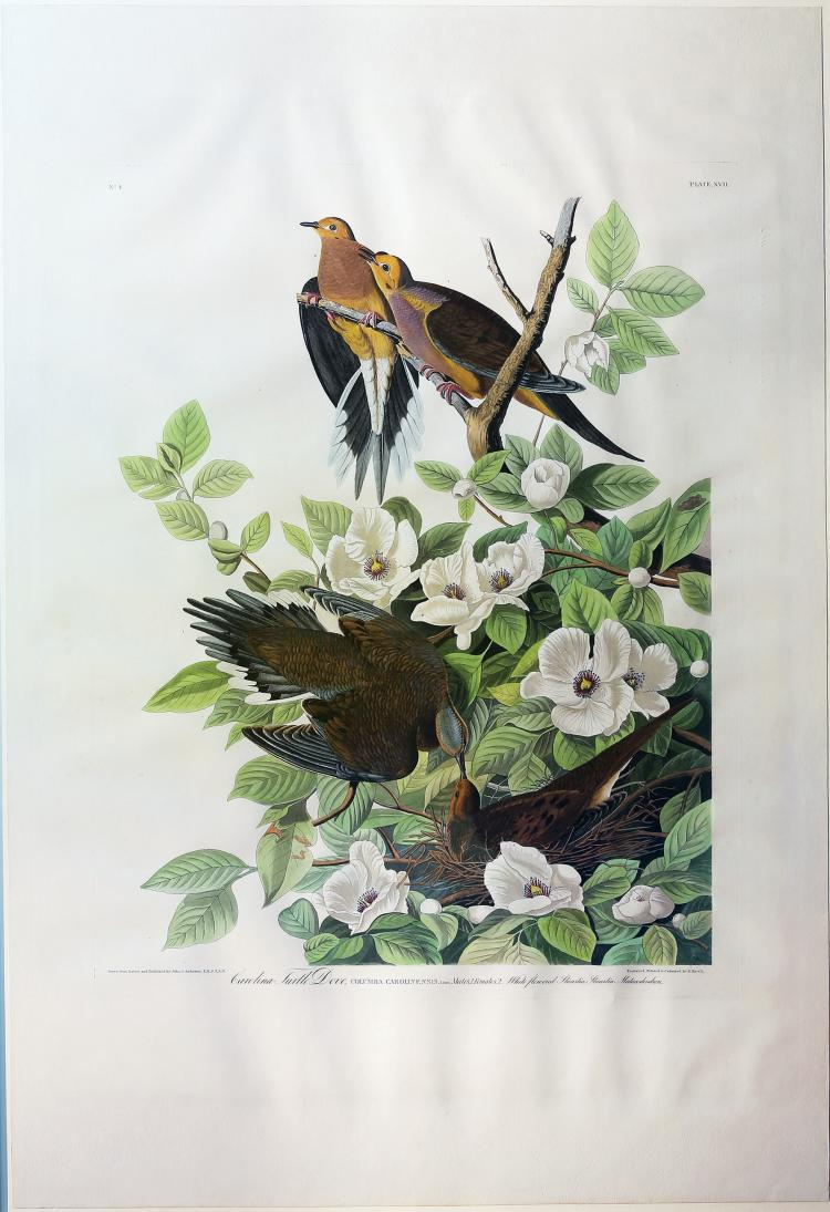 Audubon Aquatint Engraving, Turtle Dove