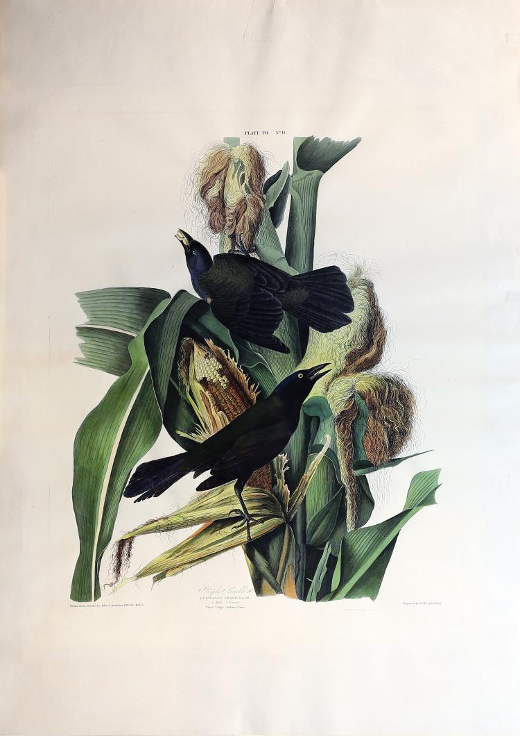 Audubon Aquatint Engraving, Purple Grackle