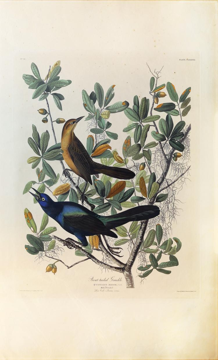 Audubon Aquatint Engraving, Boat-Tailed Grackle