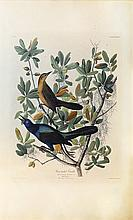 Audubon Aquatint Engraving, Boat-Tailed Grackle