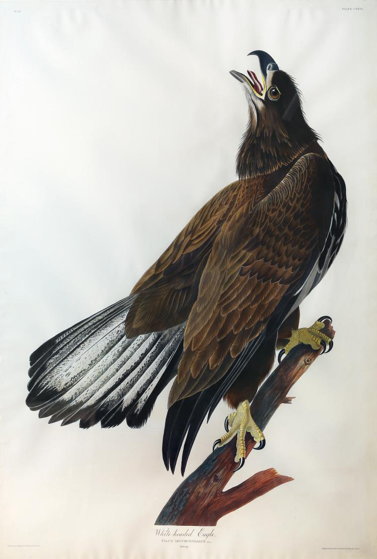 Audubon Aquatint Engraving, White-Headed Eagle (Young)